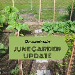 too much rain – june gardening update