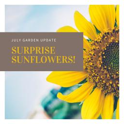 july garden update – surprise sunflowers!